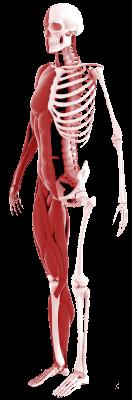 musculoskeleton
