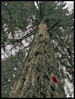 Roach on Tree